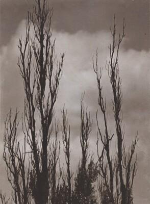 Topole (Poplars)