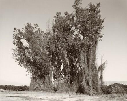Remains of a eucalyptus windbreak, Redlands, California