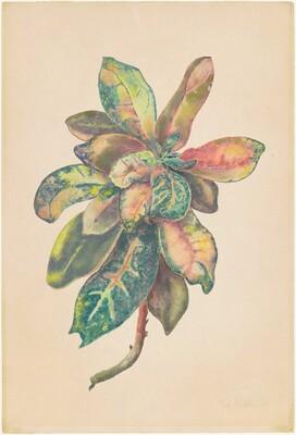 Leaves of Croton Bush