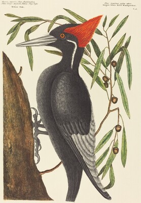 The Largest White Billed Woodpecker (Picus principalis)