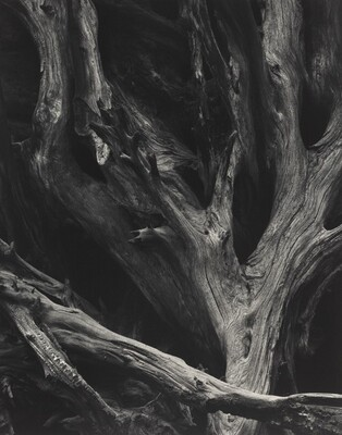 Sequoia Gigantea Roots, Yosemite National Park, California