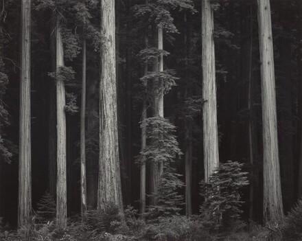 Redwoods, Bull Creek Flat, Northern California