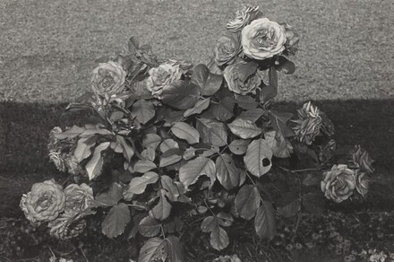 Roses with Eaten Leaves (Parc St. Cloud, France, 1973)