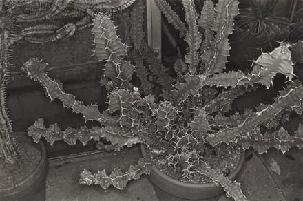 Cactus (Brooklyn Botanical Gardens, 1973)