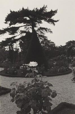 Single Rose Bloom in Formal Garden (BagatelleGardens, Paris, 1973)