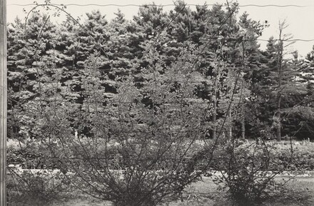 Climbing Rose Vines (Saratoga Springs, New York, 1973)