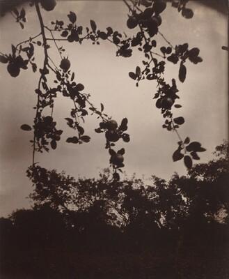 Branche de pommier