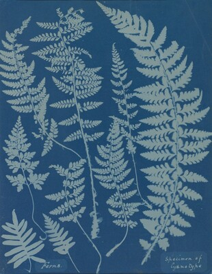 Ferns. Specimen of Cyanotype