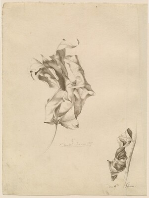 Shriveled Leaves