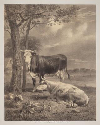 Cattle Ruminating