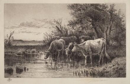 Cows in Stream
