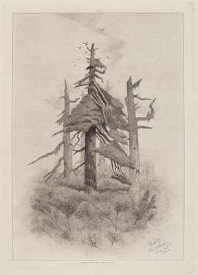 Old Trees at Naushon Island