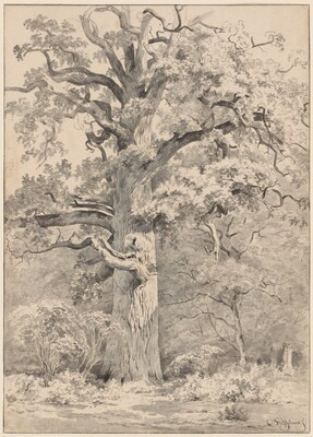 A Giant Oak at the Edge of a Forest