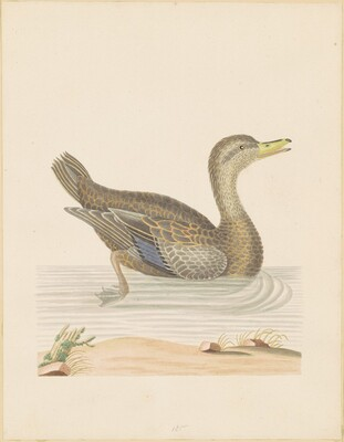 Roan Duck