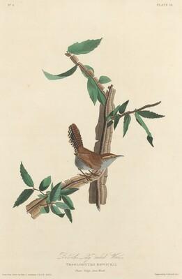 Bewick's Long-tailed Wren