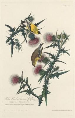 Yellow Bird or American Goldfinch