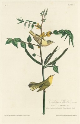 Children's Warbler
