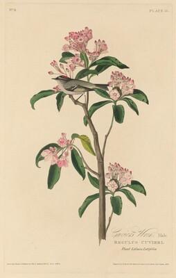 Cuvier's Wren