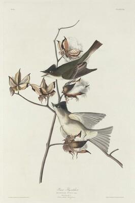 Pewit Flycatcher