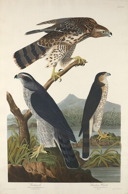 Goshawk and Stanley Hawk