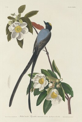 Forked-tail Flycatcher