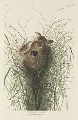 Nuttall's Lesser Marsh Wren