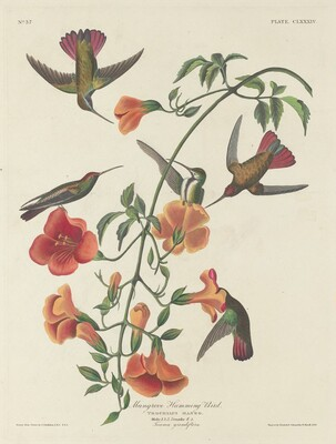 Mangrove Humming Bird