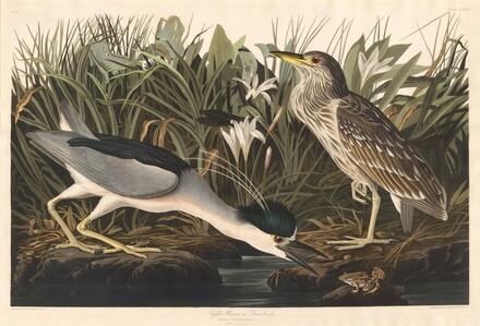 Night Heron or Qua bird