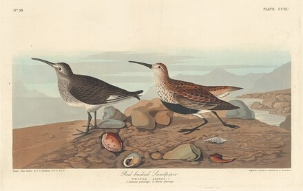 Red-backed Sandpiper