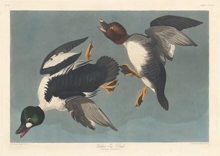 Golden-eye Duck