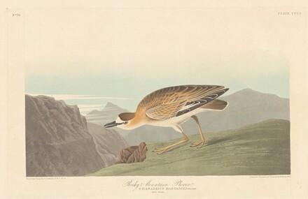 Rocky Mountain Plover