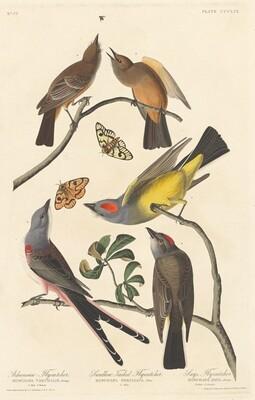 Arkansaw Flycatcher, Swallow-tailed Flycatcher and Says Flycatcher
