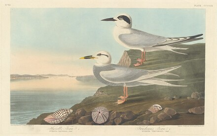 Havell's Tern and Trudeau's Tern