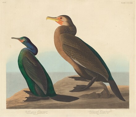 Violet-green Cormorant and Townsend's Cormorant