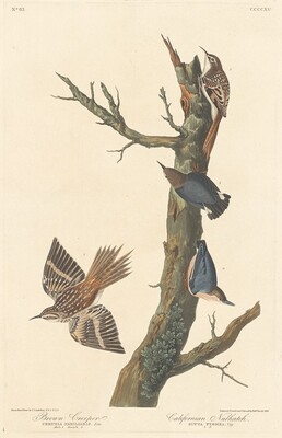 Brown Creeper and Californian Nuthatch