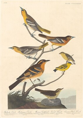 Bullock's Oriole, Baltimore Oriole, Mexican Goldfinch and Varied Thrush