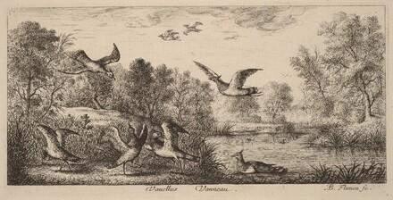 Vanellus, The Lapwing