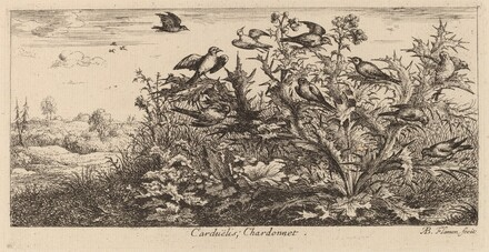 Carduelis, The Goldfinch