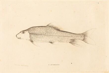 C. Aureolus