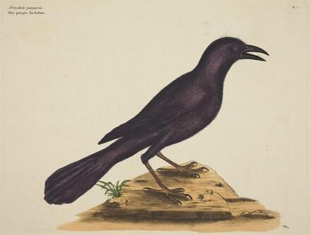 The Purple Jack Daw (Gracula Quiscula)