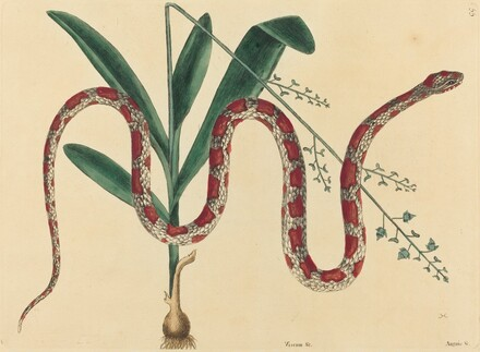 The Corn Snake (Coluber fulvius?)