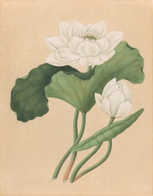 East Indian Lotus (Nelumbo nucifera)