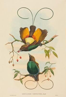 Diphyllodes chrysoptera (Magnificent Bird of Paradise)