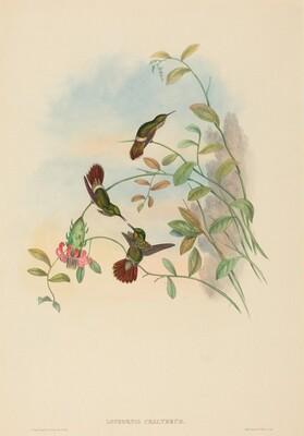 Lophornis chalybeus (Festive Coquette)
