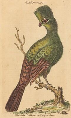 The Touraco Bird