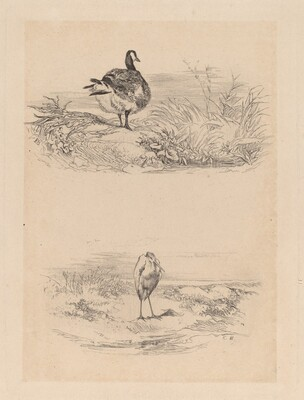 Oie, Heron
