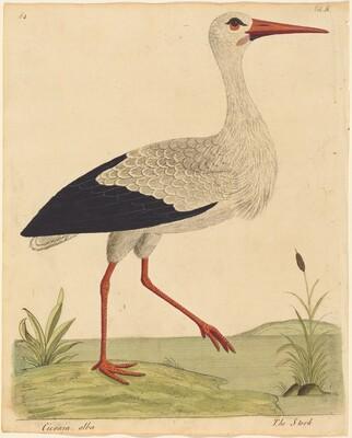 The Stork (Ciconia Alba)