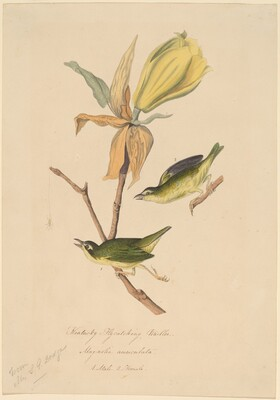 Kentucky Fly-catching Warbler