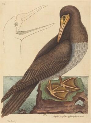 The Booby (Pelecanus Sula)