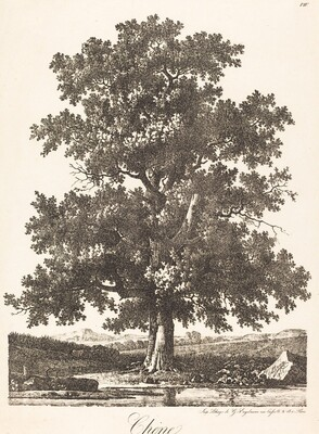 Chene (Oak Tree)